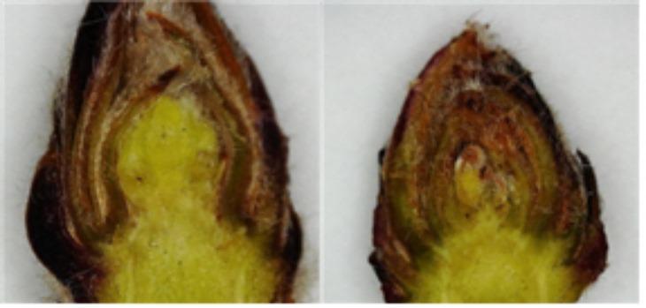 [기술보급과]사과 꽃눈 분화율 감소로 전정량 조절해야(사진 왼쪽은 꽃눈이 분화된 모습, 오른쪽은 잎눈이 분화된 상태).jpg